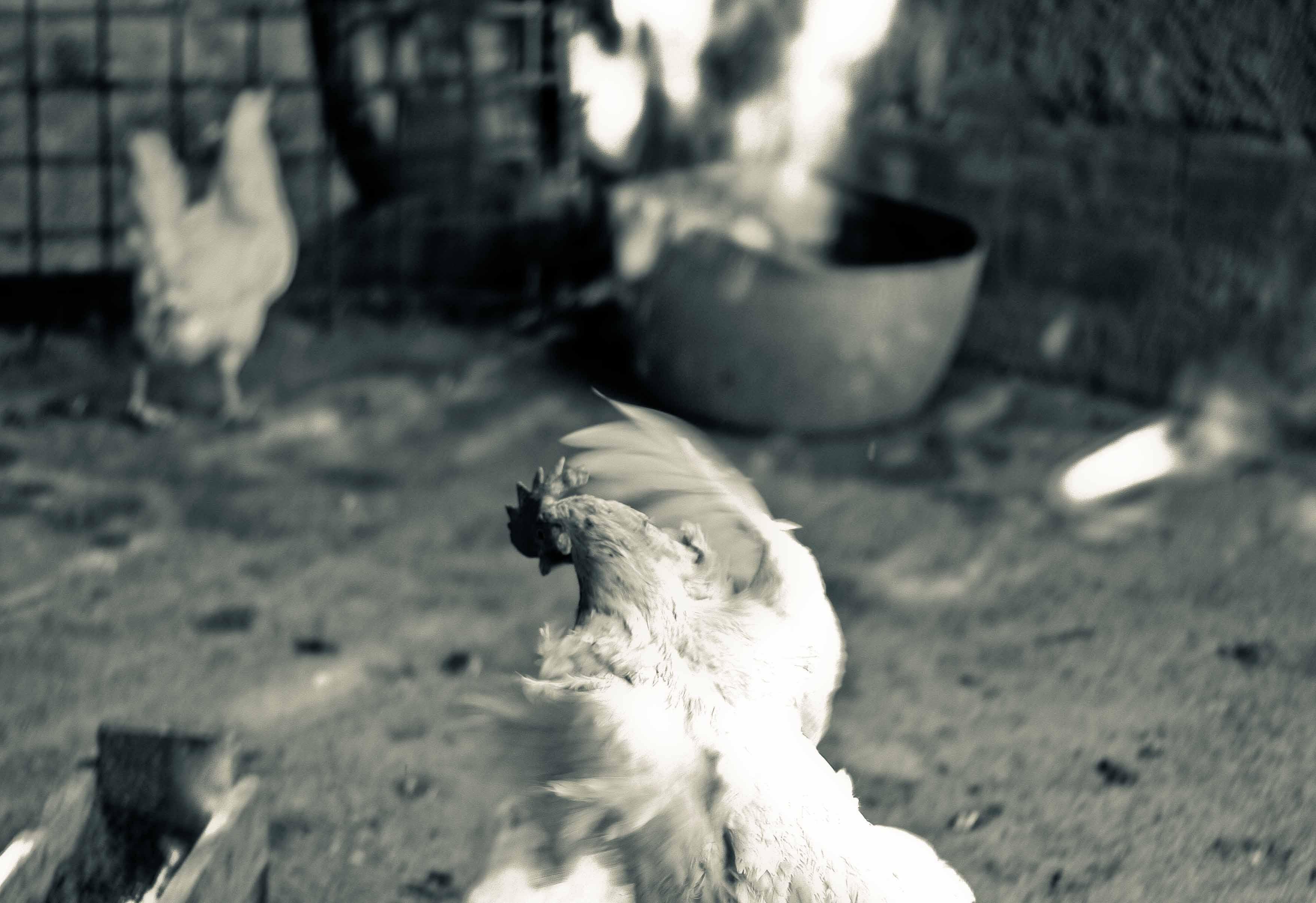 uovo di gallina livornese - Paolo Parisi 2