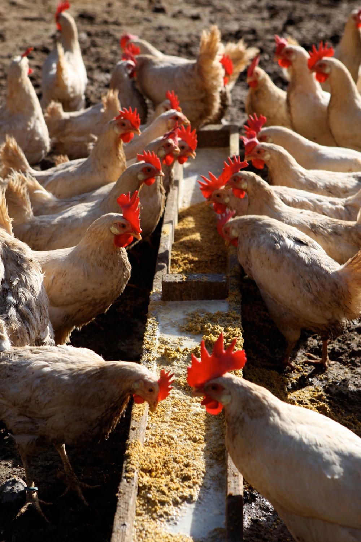 uovo di gallina livornese - Paolo Parisi 10