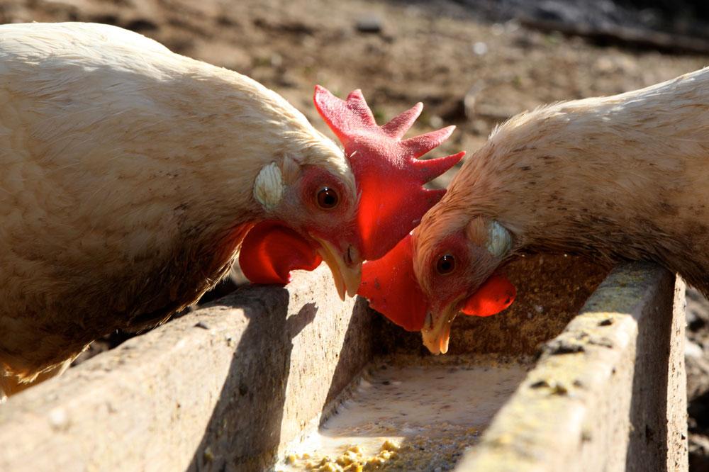 uovo di gallina livornese - Paolo Parisi 11